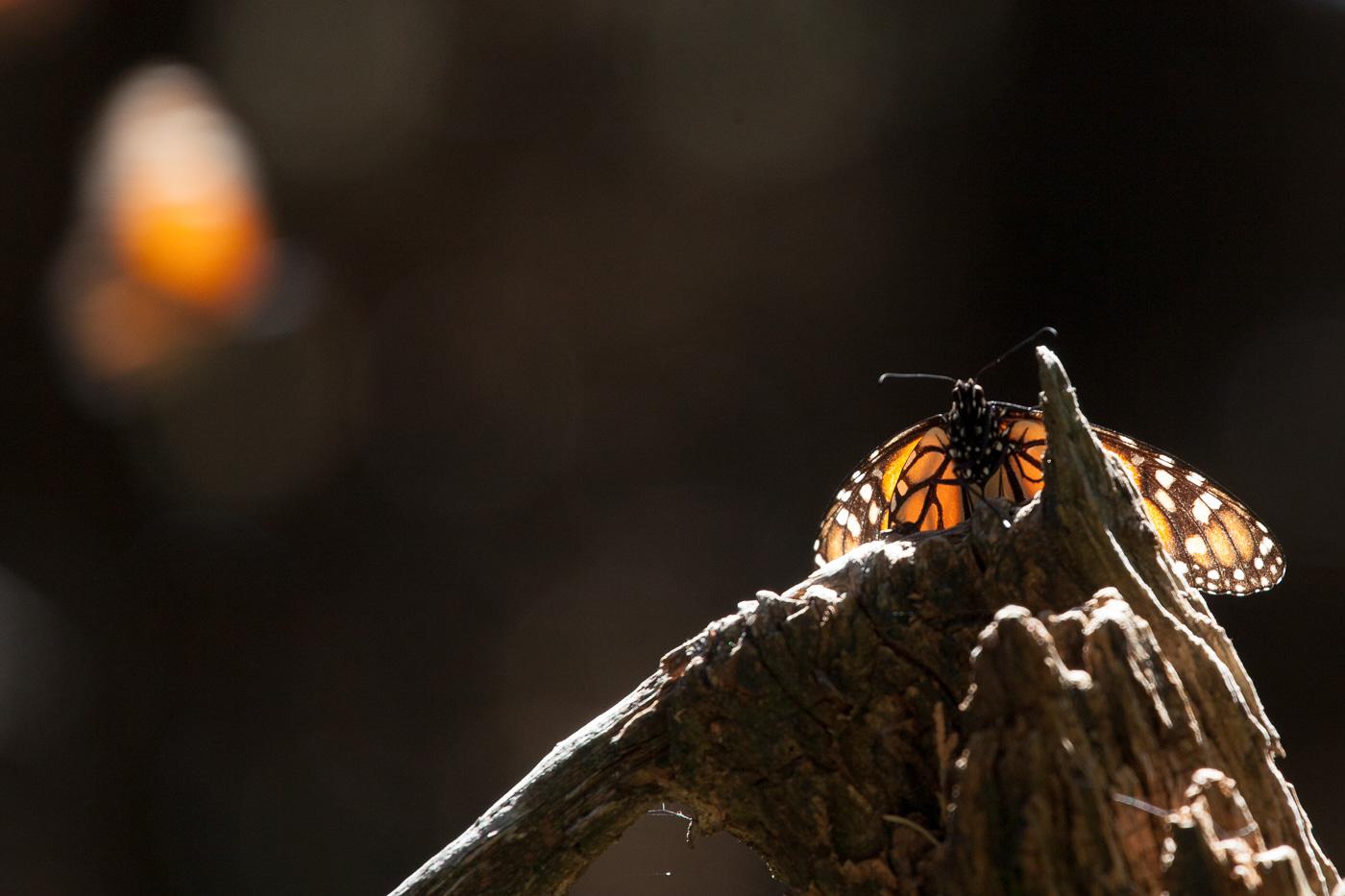 Monarksommerfugle